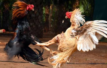 Cock Fight Bet