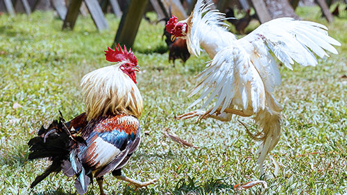 Cockfights in Indonesia